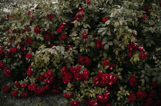 Comment tailler un rosier ?