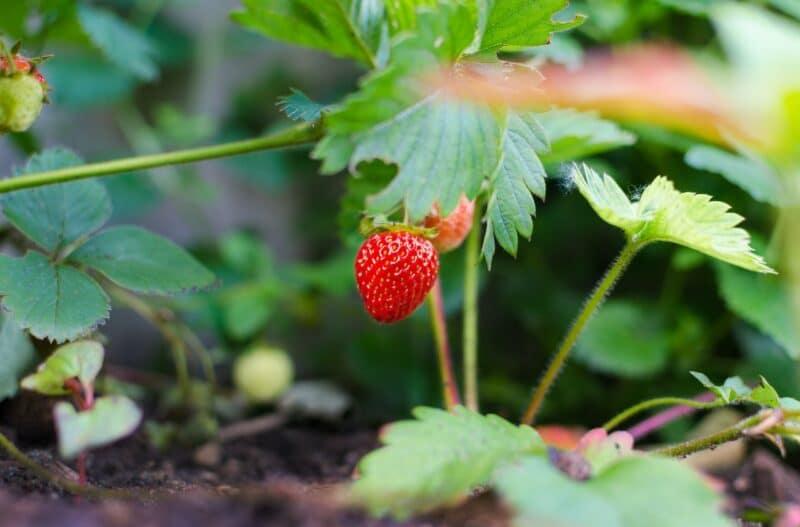 fraises potager