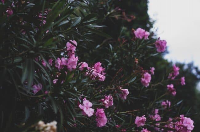 Laurier-rose : comment bien tailler son arbuste ?